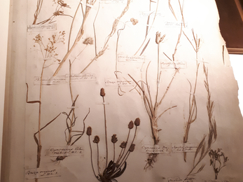 Herbarium page of plants collected in Madeira