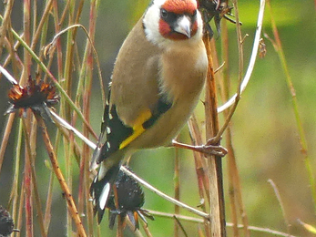 Goldfinch (c) Caroline Steel