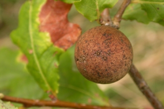 Oak Marble Gall Wasp