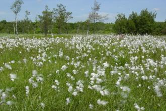 Cottongrass at Moor Farm