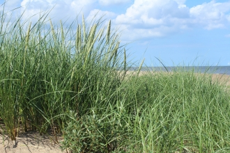 Marram Grass and Sea Buckthorn at Gibraltar Point