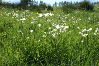 Silveriness Meadows