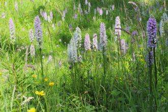 Spotted orchids