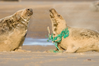 Grey seals with rope