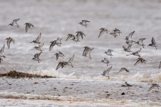 Gibraltar Point wader roost