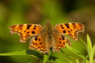 comma butterfly (Caroline Steel)