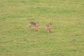 Brown hares on Anderby Marsh (c) Garry Wright
