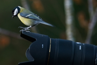 Great tit on camera
