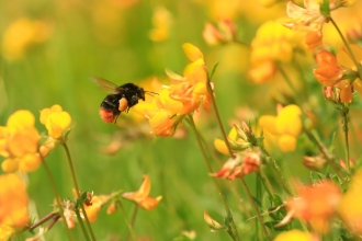 Red-tailed bumblebee on bird's foot trefoil