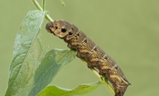 Elephant hawk-moth caterpillar