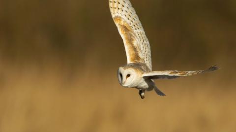 Barn Owl Lincolnshire Wildlife Trust