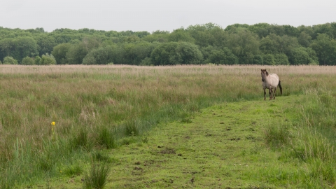 Konik pony on lowland fen