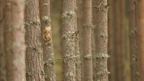 Red Squirrel on Scots Pine