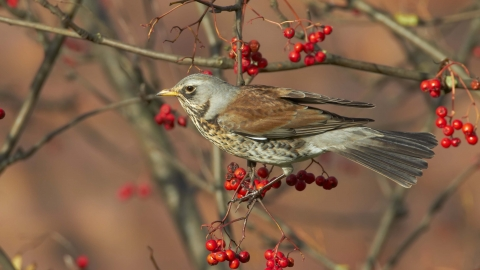 Fieldfare with Rowan berries
