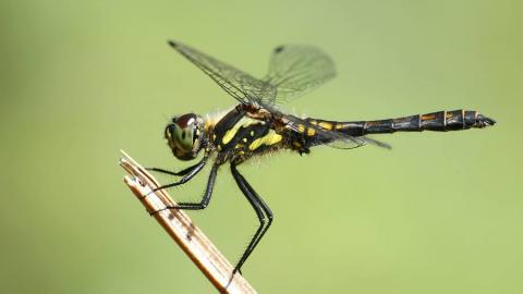 Black Darter Dragonfly