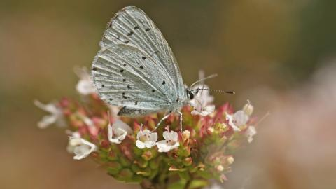 Holly blue butterfly on marjoram
