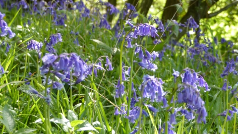 Goslings Wood Bluebells