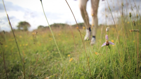Walking past bee orchid