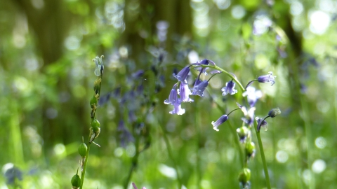 Swinn Wood bluebells