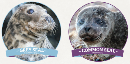 Grey seal vs common seal