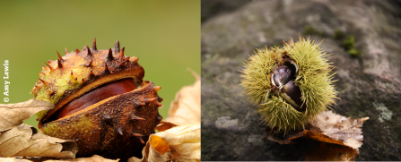 Conker or chestnut