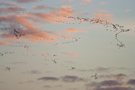 Pink-footed geese at sunrise