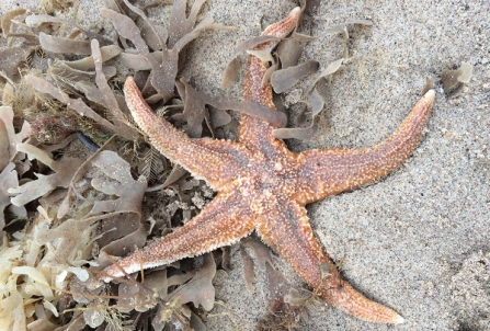Common seastar