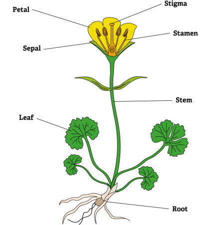 LoveLincsPlants flower diagram with answers - Lincolnshire Wildlife Trust