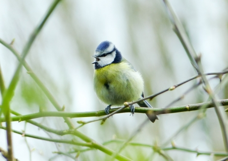 Blue tit singing