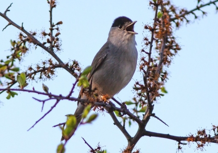 Blackcap singing