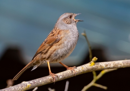 Dunnock singing