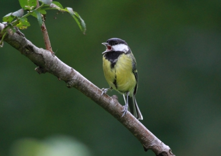 Great tit singing