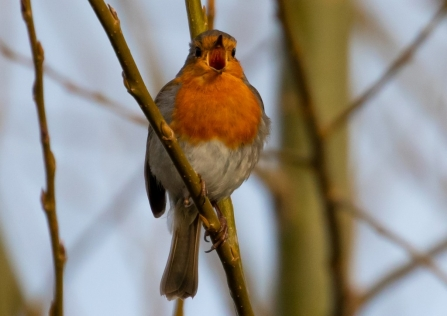 Robin singing
