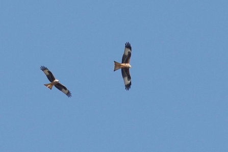 Two red kites in flight (c) Garry Wright